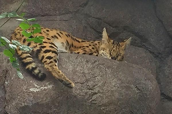San Diego Zoo Kitty!