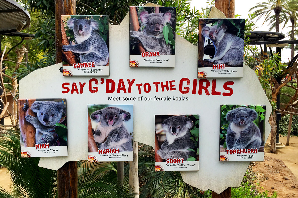 San Diego Zoo Australian Outback Koalas