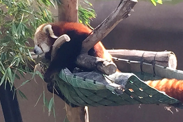 San Diego Zoo Red Panda