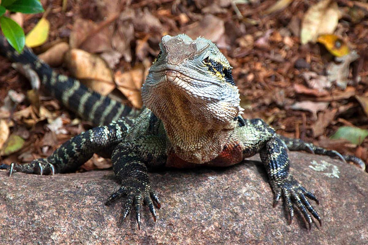 Happy Australian Lizard