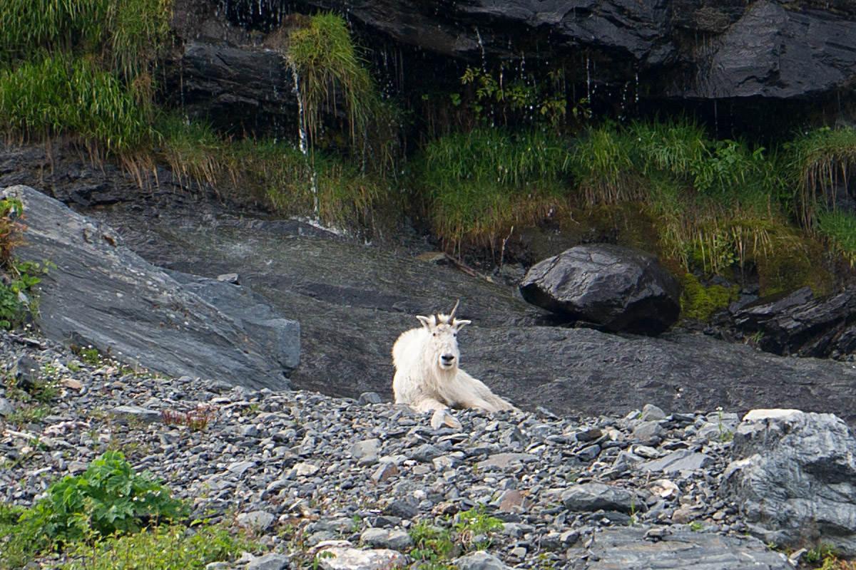 Mountain Goat of Alaska