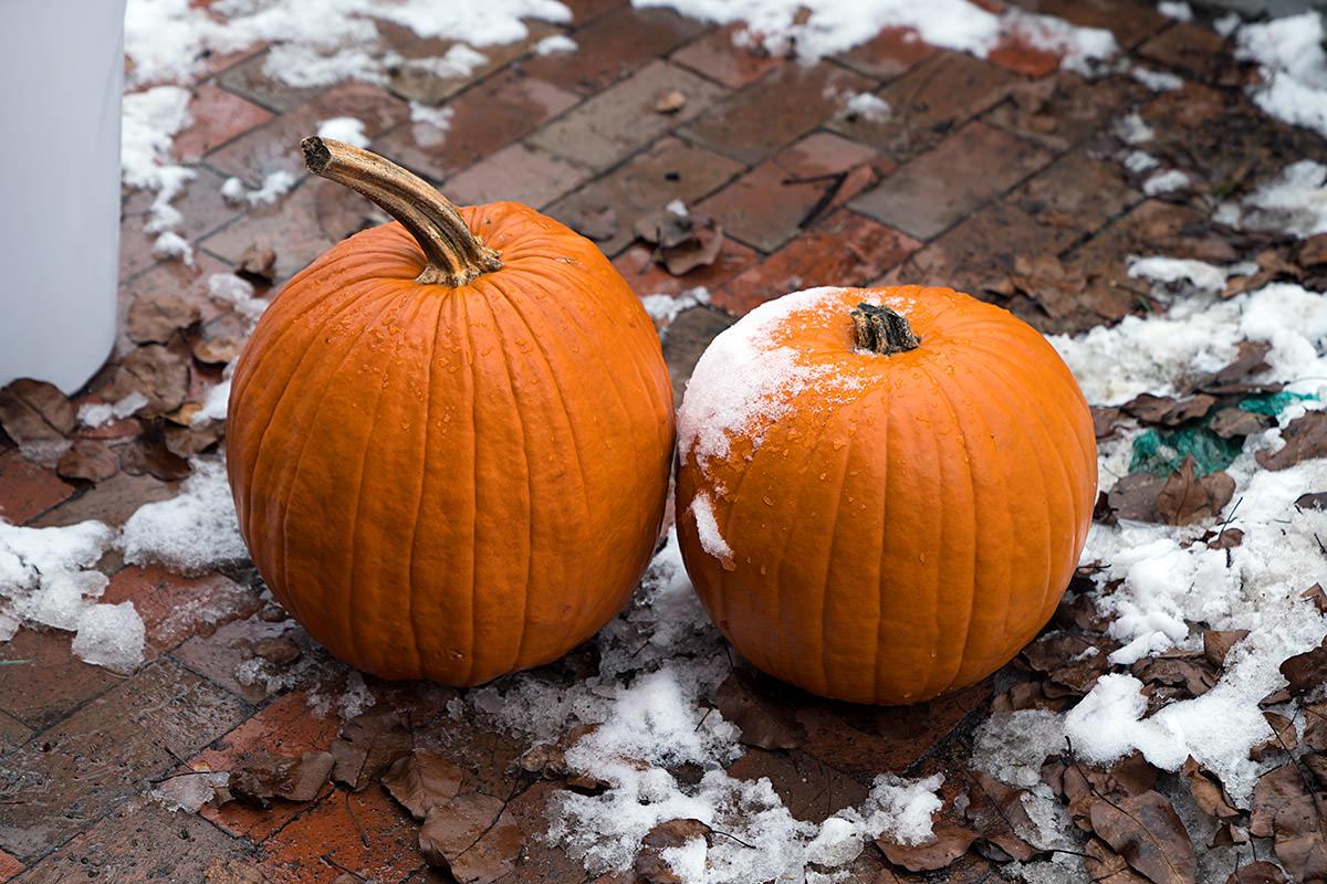 Snowy Pumpkins